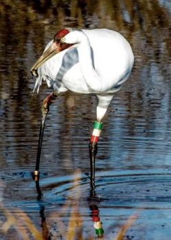 Whooping crane (Tim Krause photo)