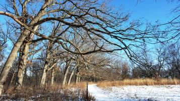 06_Trees in Taylor Park's oak savanna lean out over a walking trail.